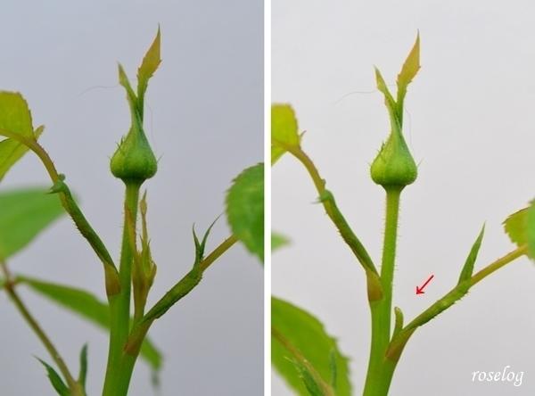 バラ 摘蕾 方法