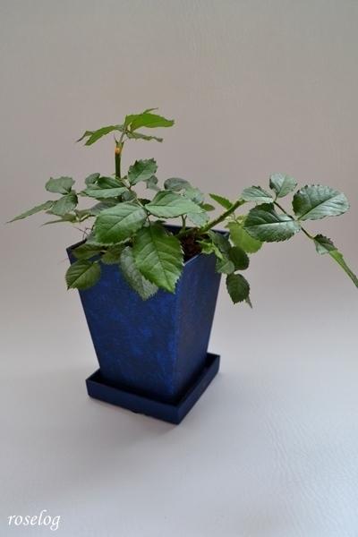 バラ ミニ盆栽
