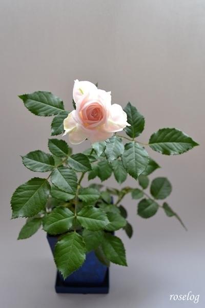 バラ 盆栽