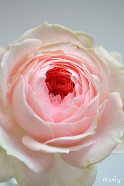 花もち いい バラ