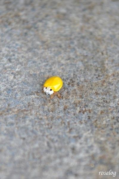 黄色 てんとう虫 幸運