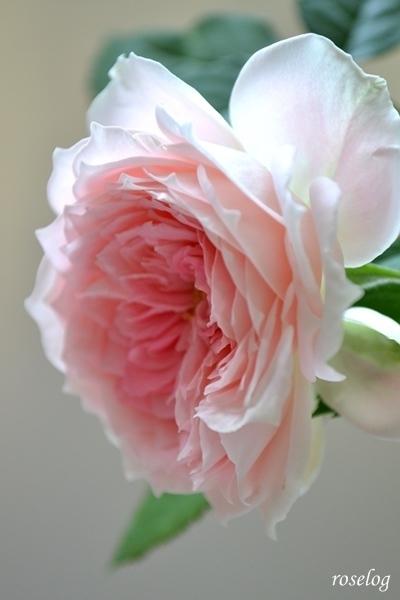 パシュミナ バラ