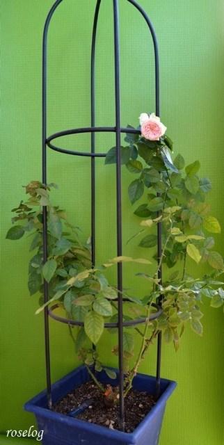パシュミナ バラ 鉢植え