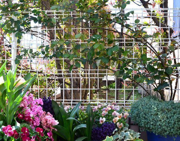オデュッセイア バラ 鉢植え