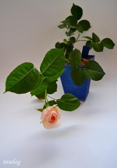 バラ 挿し木