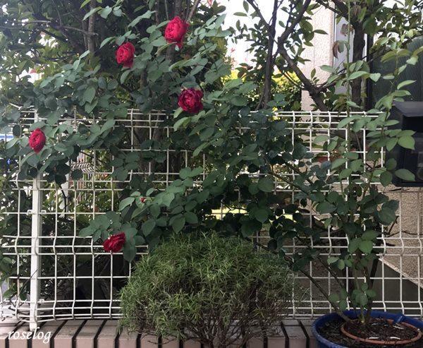 オデュッセイア バラ