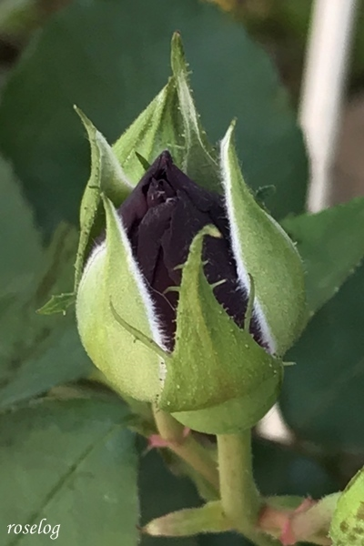 オデュッセイア バラ 蕾 黒
