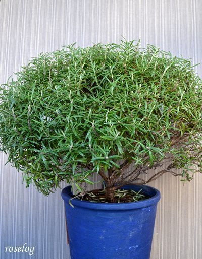 ローズマリー 鉢植え