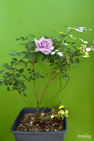 レイニーブルー バラ 鉢植え