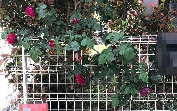 20200513オデュッセイア バラ 一番花.jpg