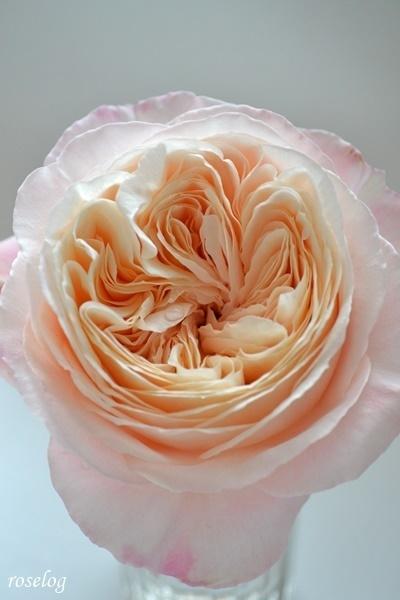 環~美空~ バラ