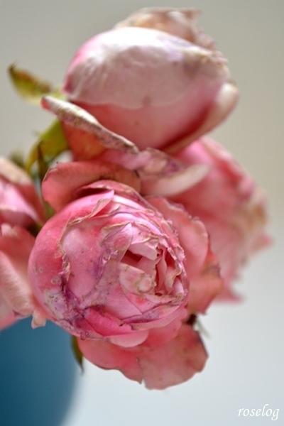 20201229シャルドネ バラ 切り花 冬薔薇2.JPG